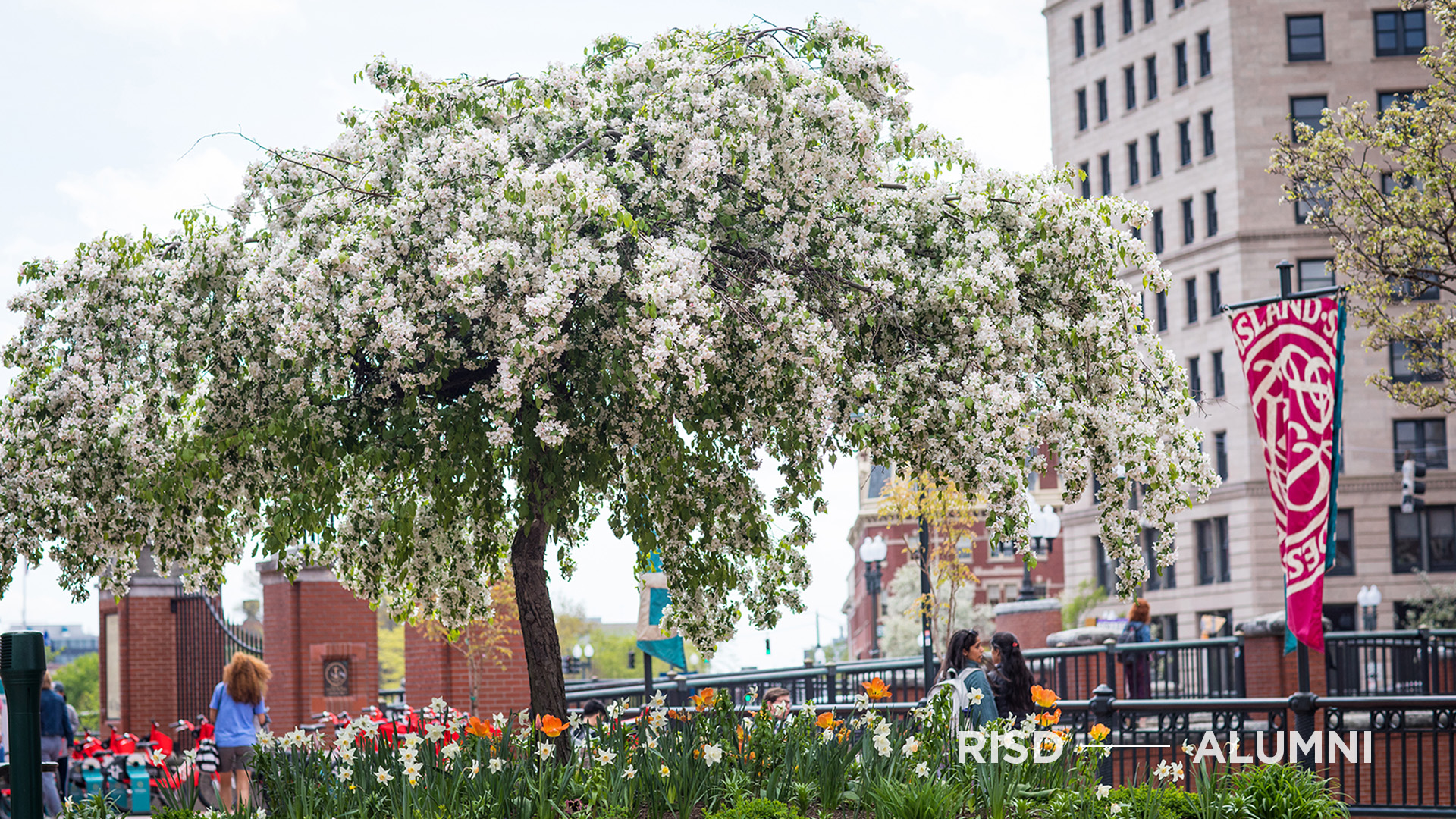 A blooming cherry tree near the Providence river.